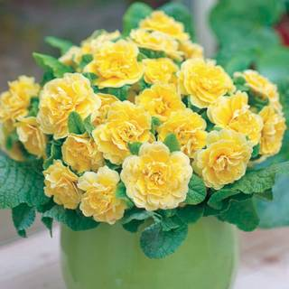 Primula Belarina® Buttercup Image