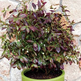 Vaccinium Blueberry Cabernet Splash™