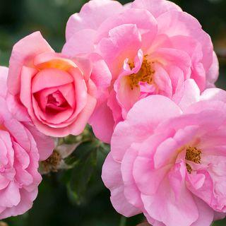 Peachy Knock Out® Shrub Rose
