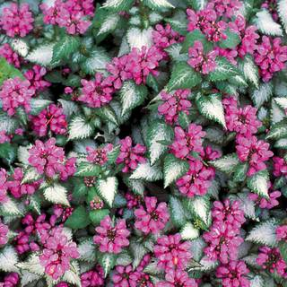 Lamium 'Purple Dragon'