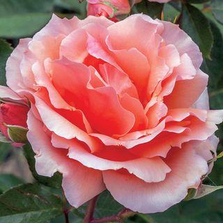 Apricot Candy™ Hybrid Tea Rose