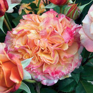 Crazy Love™ Grandiflora Rose Image