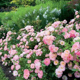Peach Drift® Groundcover Rose