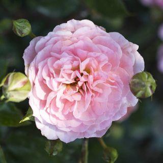Apricot Drift® Groundcover Rose