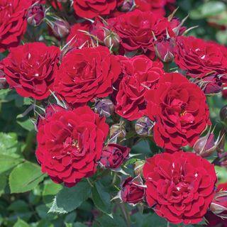 Red Sunblaze® Rose
