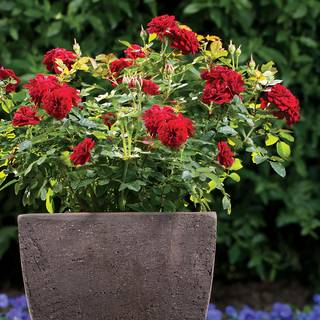 Red Sunblaze Rose®