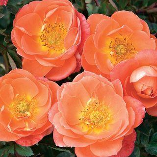 Amber Sunblaze® Rose
