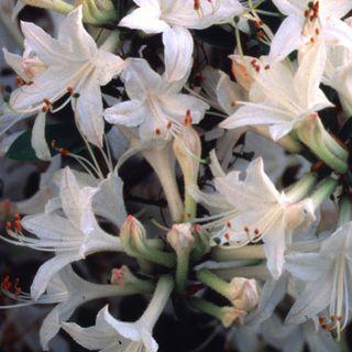 'Fragrant Star' Azalea