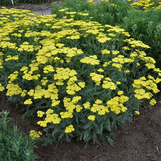 Achillea 'Sassy Summer Lemon'