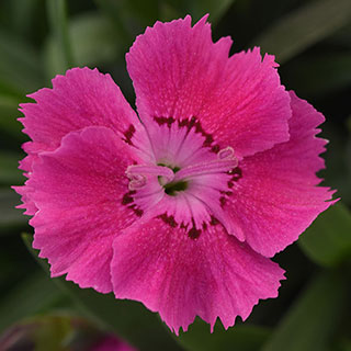 Dianthus Mountain Frost™ 'Rose Bouquet' Image