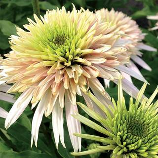 Echinacea Cone-Fections™ Cherry Fluff