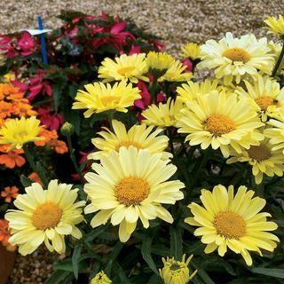 Leucanthemum Realflor® 'Real Sunbeam'