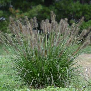 Pennisetum 'Puppy Love'