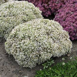 Sedum Rock 'N Grow® Bundle of Joy