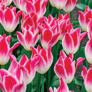 Tulip 'Whispering Dream'