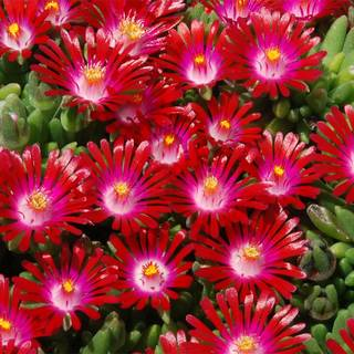 Delosperma Hotcakes® 'Saucy Strawberry' Image