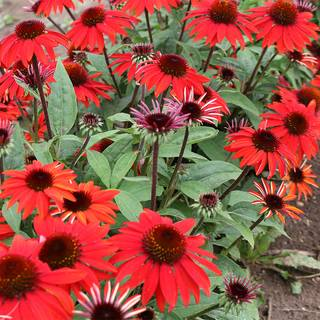 Echinacea Sombrero® Sangrita Red Image