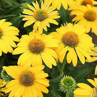 Echinacea Sombrero® Lemon Yellow Improved Image