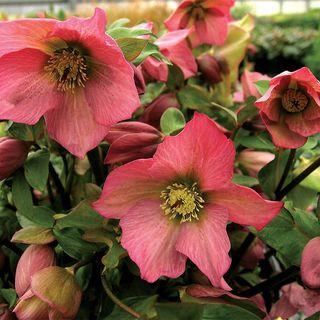 Helleborus Walbertons Rosemary® Image