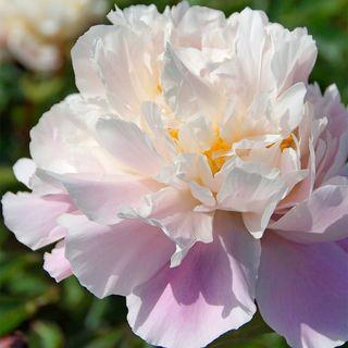 Paeonia 'Lady Alexander Duff'