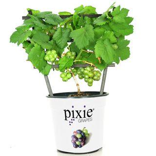 Pixie™ Pinot Meunier White Grape