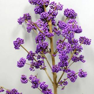Callicarpa Plump and Plentiful™ 'Lilac'