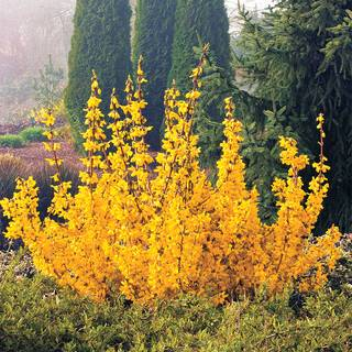 Magical® Gold Forsythia Image