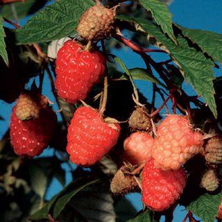 Raspberry 'Caroline' Image