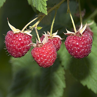 Raspberry 'Glencoe'