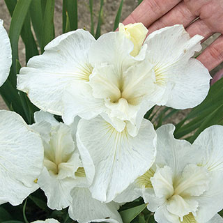Iris 'Swans in Flight'