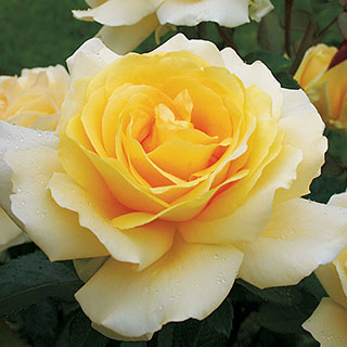 Winter Sun™ Eleganza® Hybrid Tea Rose Image