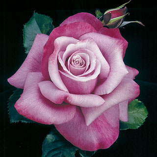 Barbra Streisand Hybrid Tea Rose Image
