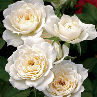 Bridal Sunblaze® 18-inch Miniature Tree Rose