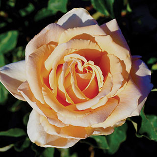 Just Joey Hybrid Tea Rose Image