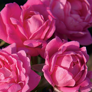 Pink Double Knock Out® 36-Inch Tree Rose