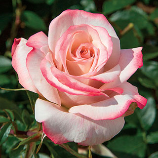 Pinkerbelle™ Hybrid Tea Rose