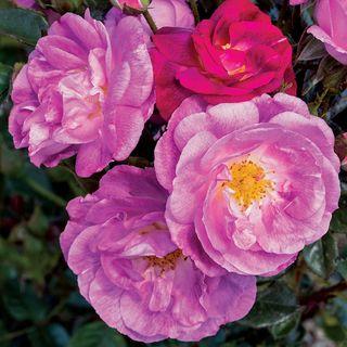 Ultra Violet Simplicity Rose Image