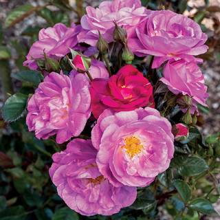 Shrub Roses Ideal For Carefree Borders And Summer Long Color