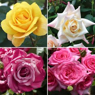Oh So Fragrant Rose Collection