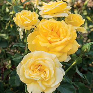 'Honey Bee Kind' Grandiflora Rose Image