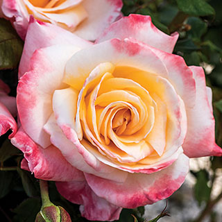 Women's Celebration Hybrid Tea Rose