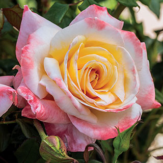 Nora Virginia Hybrid Tea Rose Image