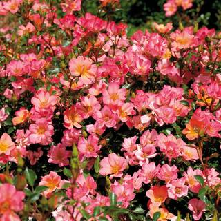 Rosa Happy Chappy 36-Inch Tree Rose