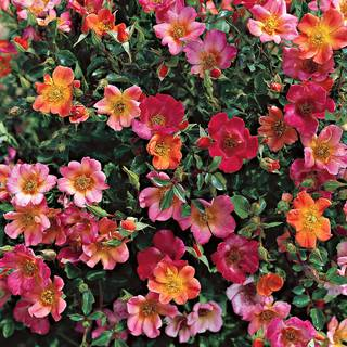 'Happy Chappy' 36-Inch Tree Rose