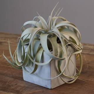 Air Plant in Ceramic