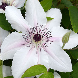 Clematis 'The Countess of Wessex'