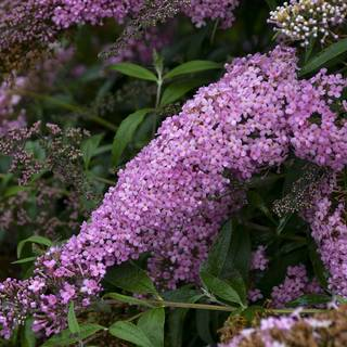 Buddleia 'Pink Cascade' Image