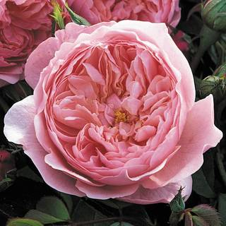 The Alnwick® Shrub Rose