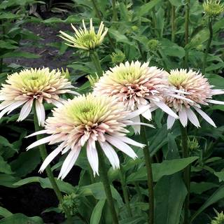 Echinacea Cone-Fections™ 'Cherry Fluff' Image