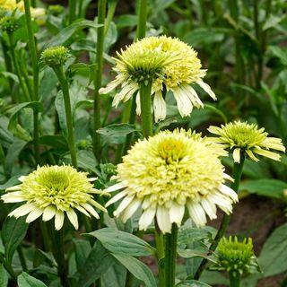 Echinacea Cone-Fections™ 'Honeydew'